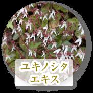 ユキノシタエキス